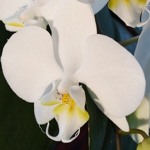orquidea_15