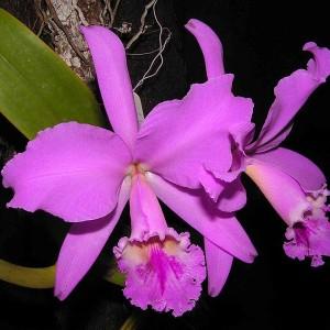 orquidea_2