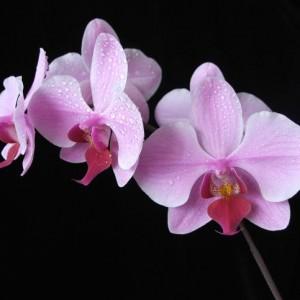 orquidea_7